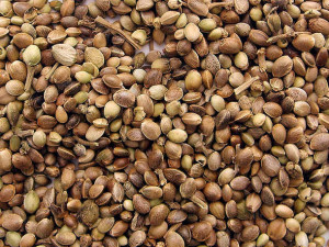 cannabis hemp marijuana seeds