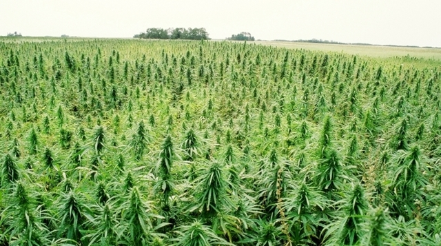 Retail Hemp field crop