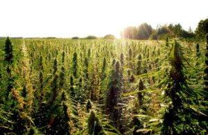 DEA's Efforts to Block Hemp Draw Federal Ire, Source: http://i1.wp.com/weedquest.com/wp-content/uploads/2014/02/hemp_3.jpg?resize=640%2C420