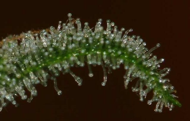 cannabinoid profile cannabidiolic acid cbda the leaf online