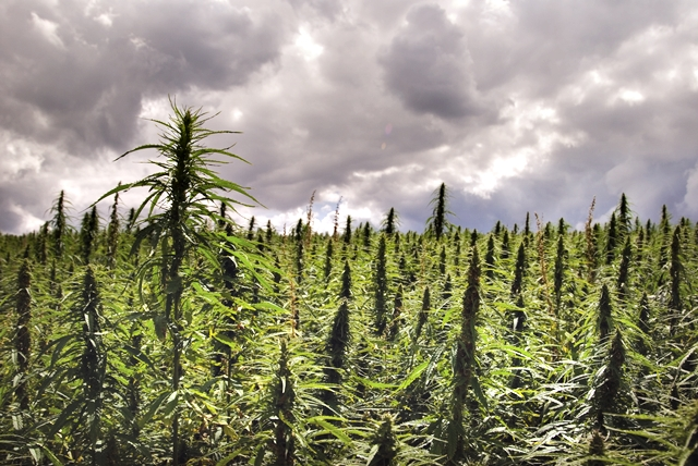 New Year's Revolutions: The Return of the US Hemp Industry, Source: http://i1.wp.com/wakeup-world.com/wp-content/uploads/2014/01/crop-hemp.jpg